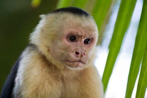 monkey primates capuchin