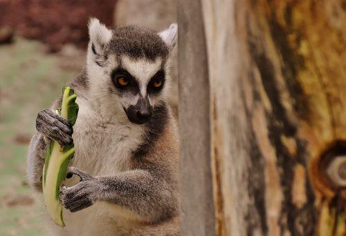 beždžionė,lemūrai,mielas,valgyti,zoologijos sodas,affchen,saldus,gyvūnas,gyvūnų pasaulis,tierpark hellabrunn,Munich