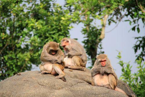 monkey three large stone