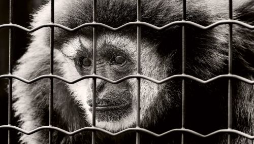 monkey captivity sad
