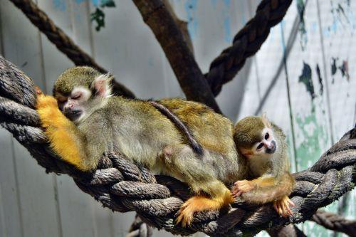 monkey äffchen zoo