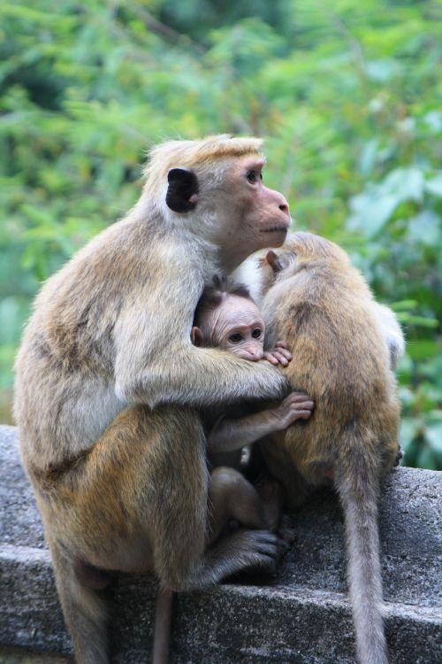 monkey sri lanka sri