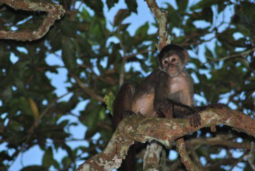 beždžionė,džiunglės,laukinė gamta,laukiniai,mielas,medis,gamta,primatas