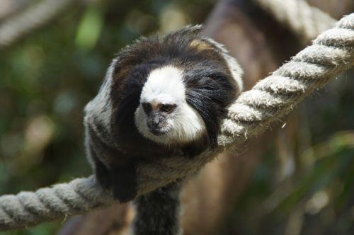 monkey äffchen capuchin