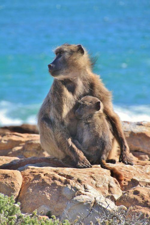 monkey monkey family äffchen