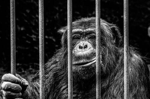 monkey captivity zoo