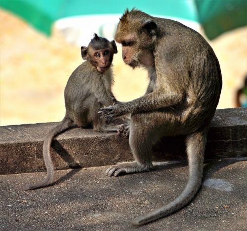 monkey baby grooming
