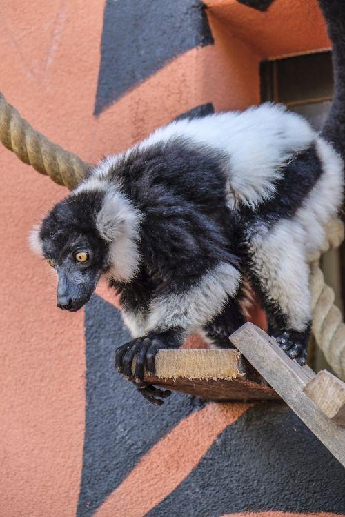 monkey animal maki