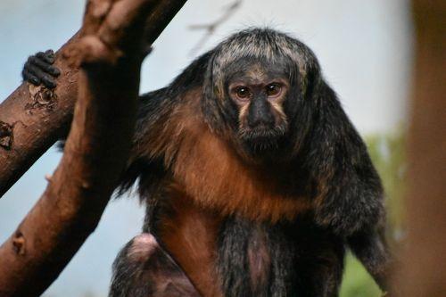 monkey zoo brown