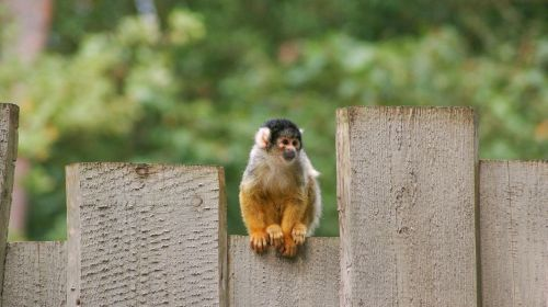 monkey squirrel monkey animal