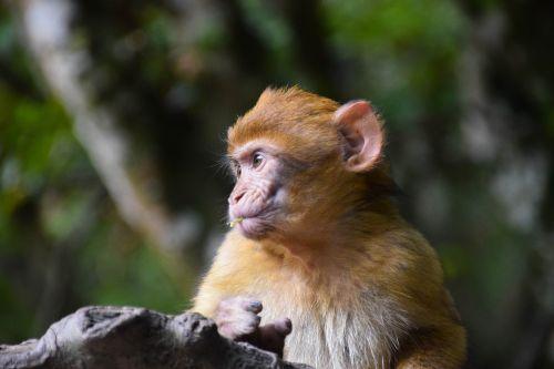 monkey baby monkey ape baby