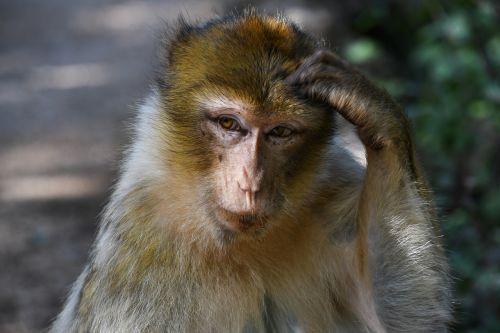 monkey barbary macaque magot