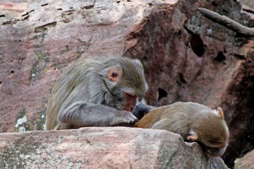 monkey delouse baboon