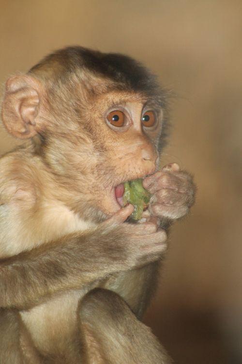 monkey baby monkey animal