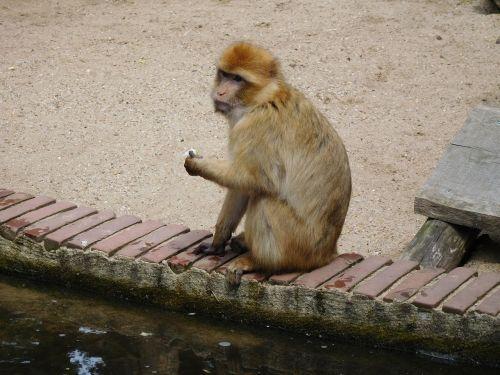 monkey wildlife mammals