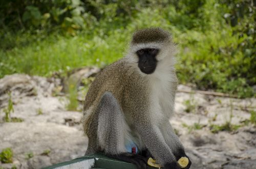 monkey wildlife nature