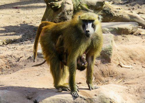 monkey primate animal