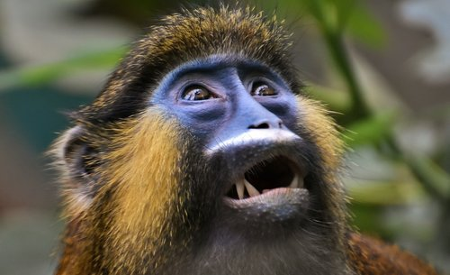 monkey  animal  furry