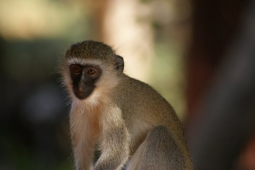 monkey  primate  animal world