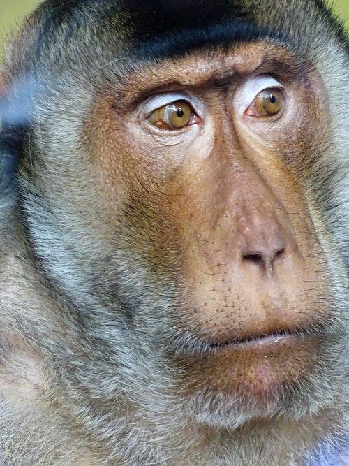 monkey  mammal  portrait