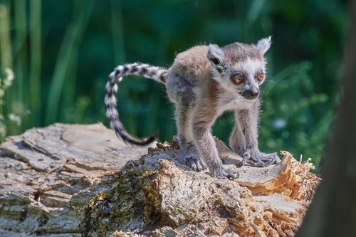 monkey  lemur  young animal