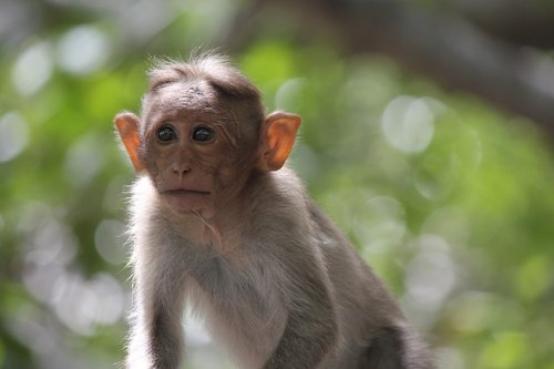 monkey  india  animal