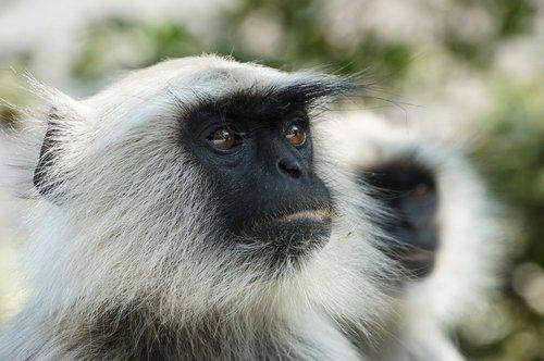 monkey  ape  animal