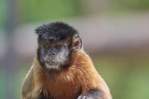 monkey  face  capuchin