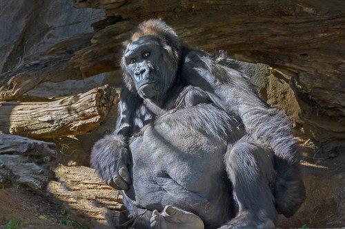 monkey  gorilla  animal