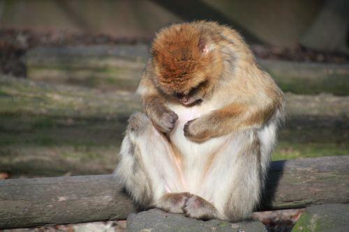 monkey ape barbary ape