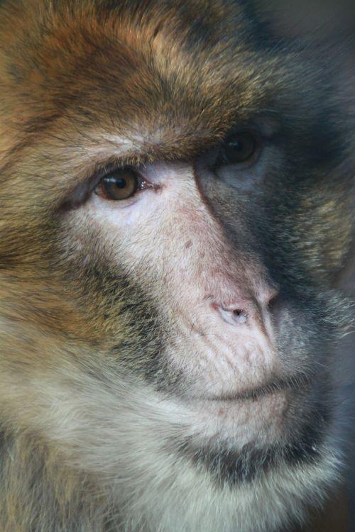 monkey barbary ape portrait