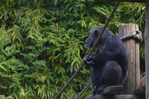 monkey  chimpanzee  primate