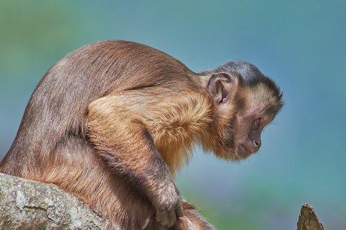 monkey  capuchin  mammal