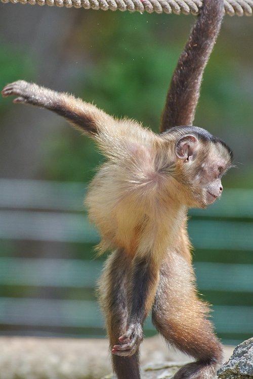 monkey  capuchin  furry