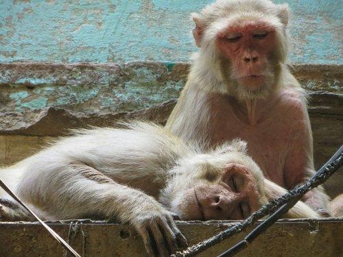 monkey  varanasi  india
