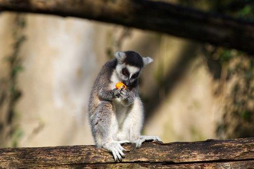 monkey  primate  mammal
