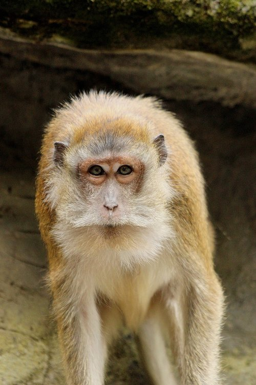 monkey  portrait  furry