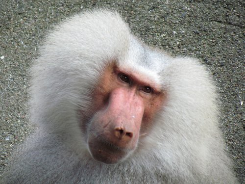 monkey  hair  hairstyle
