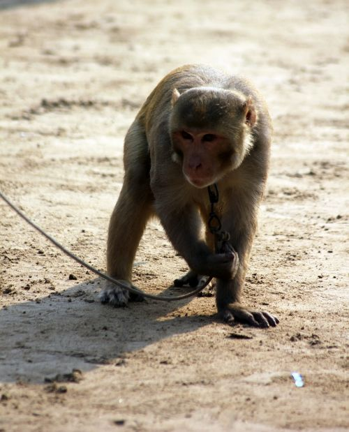 monkey animal chained