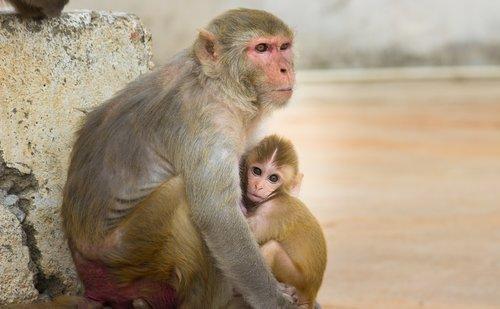 monkey  primate  ape