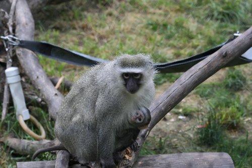 monkey  zoo  animal