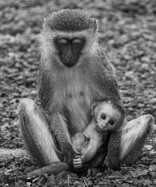 monkey  monkey baby  kenya