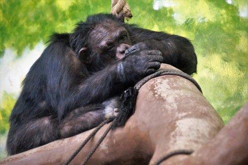 monkey  sleeping  chimp