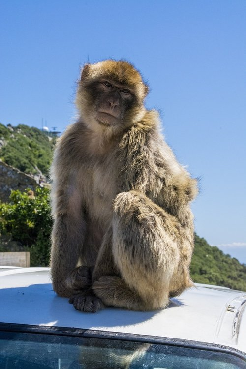 monkey  gibraltar  animal