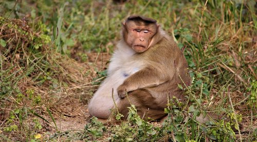 monkey  fat  animal