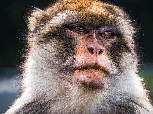 monkey  animal  gorilla