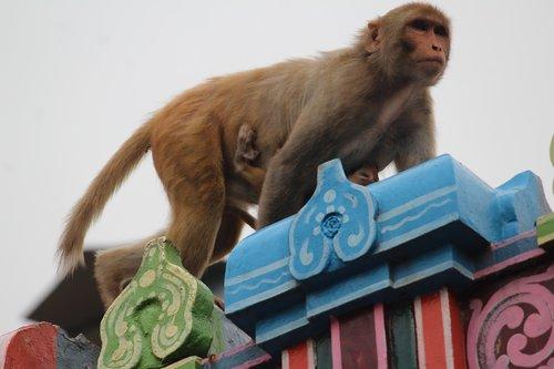 monkey  animal  mammal