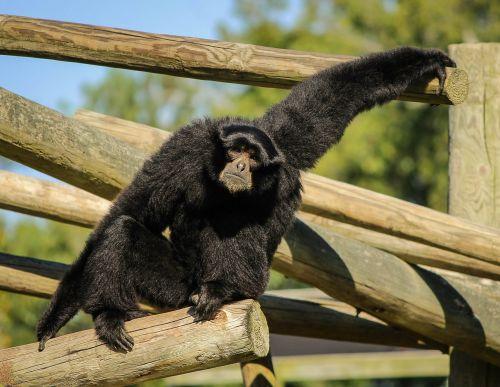 monkey siamang gibbon
