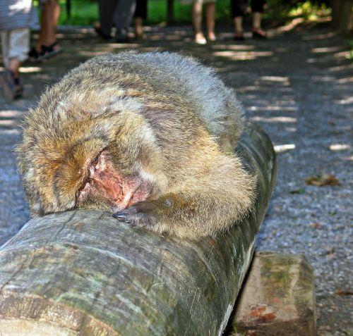 monkey lying tired
