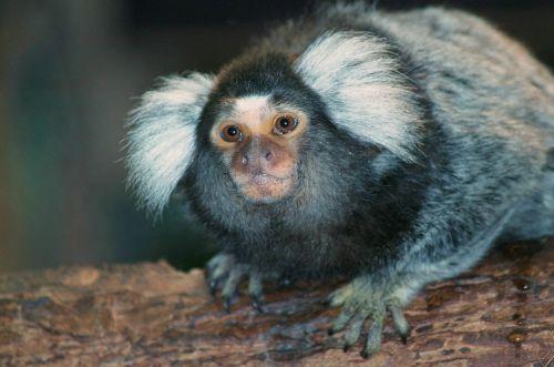monkey monkey art mammal